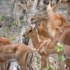Impala, Kruger Park
