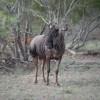 Wildebeest, Kruger Park