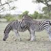 Zebras, Kruger Park
