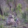 Baboon, Kruger Park