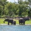 Elephants, Zimbabwe