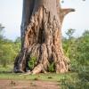 Tree, Zimbabwe