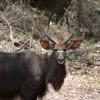 Kudu Buck, Kruger Park