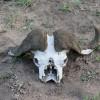 Buffalo Skull, Kruger Park