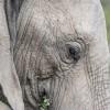 Elephant, Kruger Park