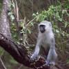 Monkey, Kruger Park