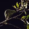 Chameleon, Kruger Park