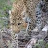 Leopard, Kruger Park