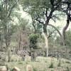 Zebra, Kruger Park